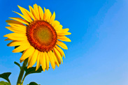 sunflower th